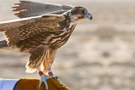 Falconry in Qatar